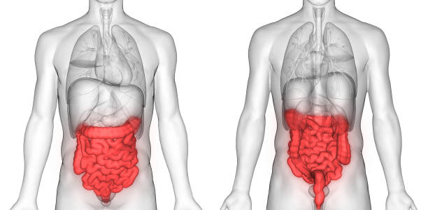 Royalty Free Human Large Intestine Pictures, Images and Stock Photos ...