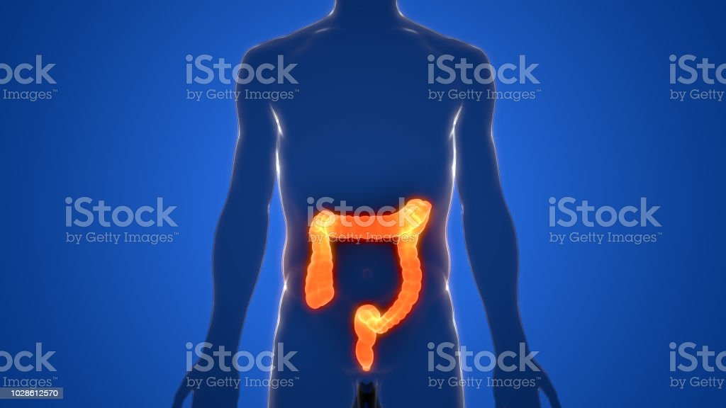 Human Digestive System Large Intestine Anatomy stock photo