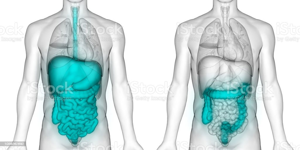 Human Digestive System Large Intestine Anatomy Stock Photo More