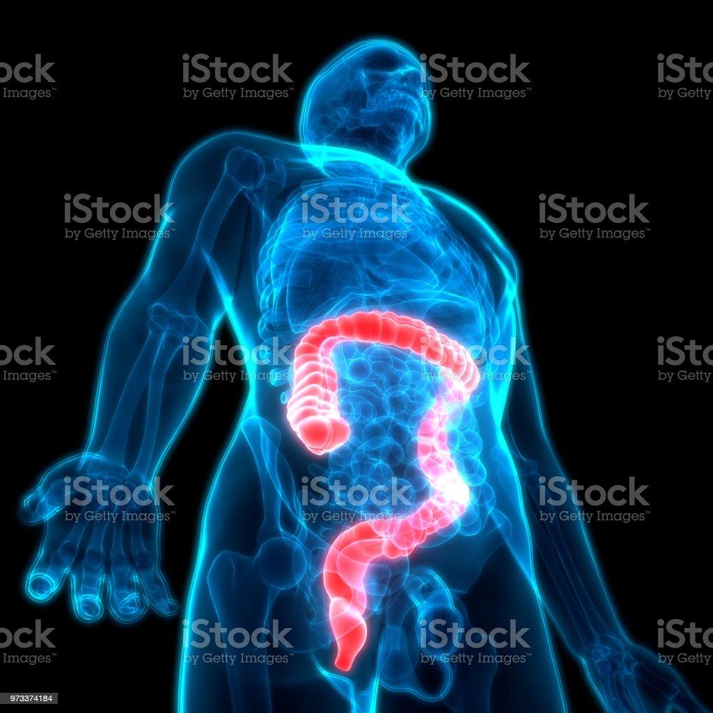 Human Digestive System Large Intestine Anatomy Stock Photo More
