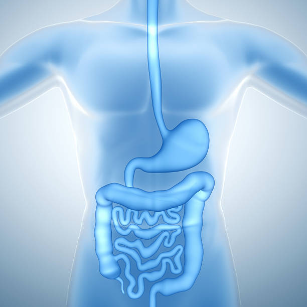 human digestive system - internal organ stock photos and pictures