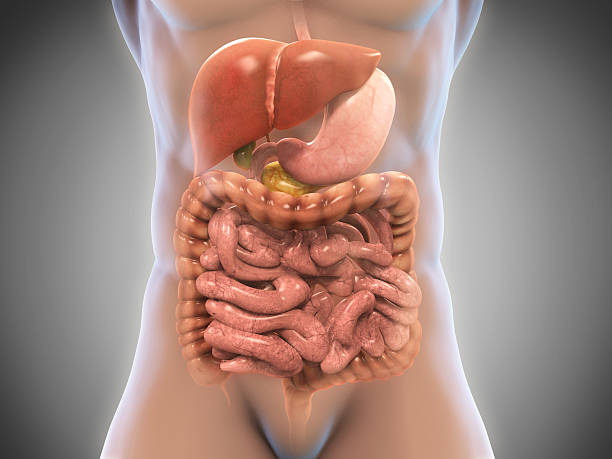 human digestive system - human intestine stock photos and pictures