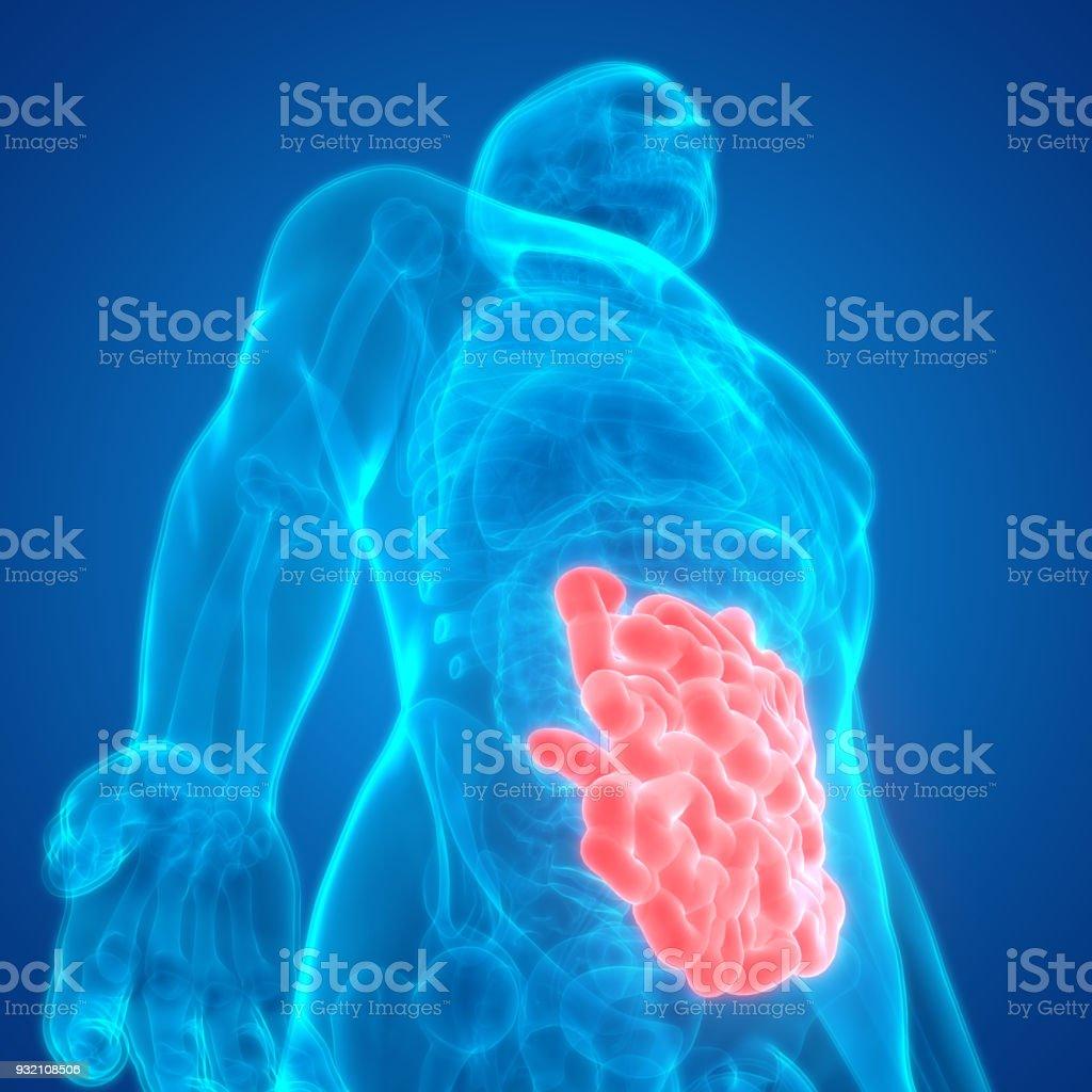 Fotografía de Intestino Delgado Anatomía De Sistema Digestivo Humano ...