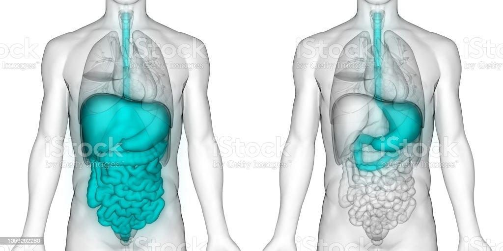 Human Digestive System Stomach Anatomy stock photo