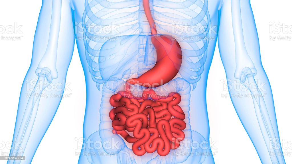 Human Digestive System Stomach with Small Intestine Anatomy stock photo