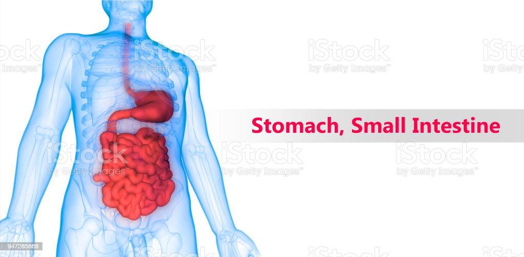 Menschlichen Verdauungssystems Magen Dünndarm Anatomie Stock ...
