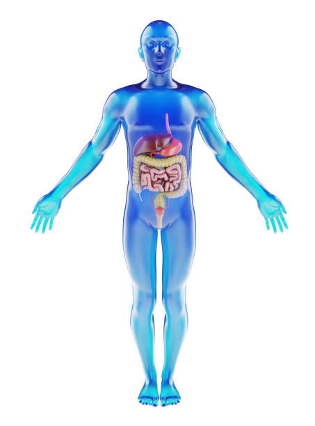 human dummy with visible digestive system - medical diagrams stock pictures, royalty-free photos & images