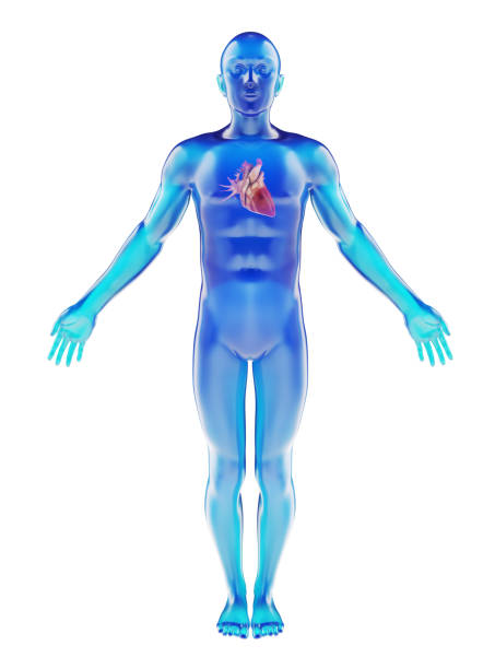 human dummy with visible heart - medical diagrams stock pictures, royalty-free photos & images