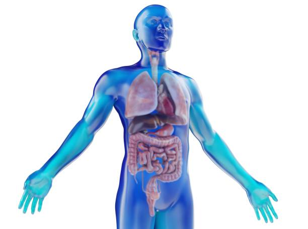 human dummy with visible internal organs - medical diagrams stock pictures, royalty-free photos & images