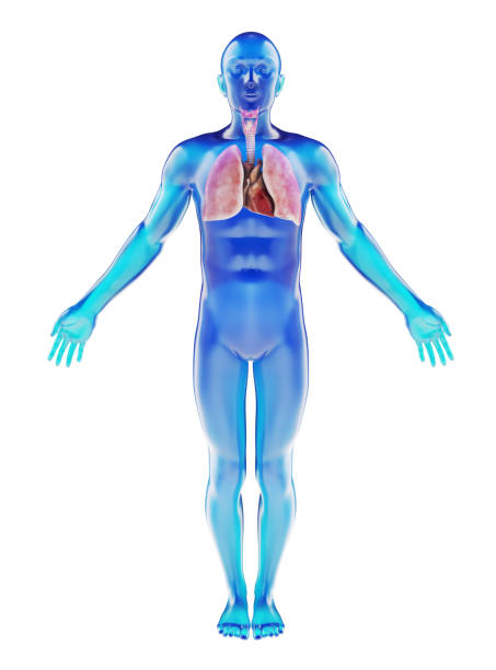 human dummy with visible respiratory system - medical diagrams stock pictures, royalty-free photos & images