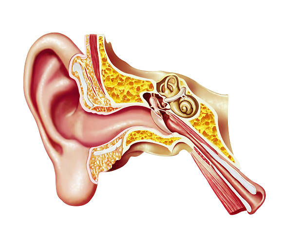 Human ear cutaway diagram. Anatomy illustration. Human ear cutaway diagram; anatomy illustration. human ear stock pictures, royalty-free photos & images