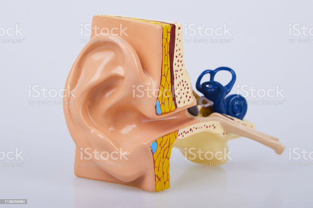 Artificial human ear model isolated on white background. Human ear....