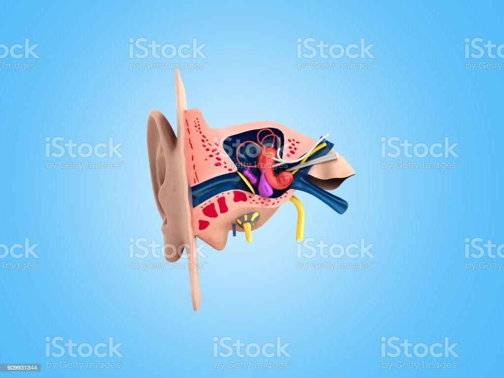 Oído Humano Estructura Ciencias De La Educación Médica 3d Rendrer Ilustración Anatomía Del Oído Foto De Stock Y Más Banco De Imágenes De Anatomía