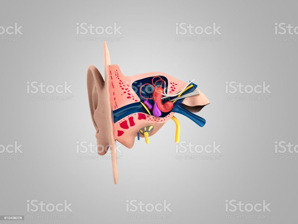 Human ear structure medical educational science 3d rendrer illustration Ear anatomy stock photo