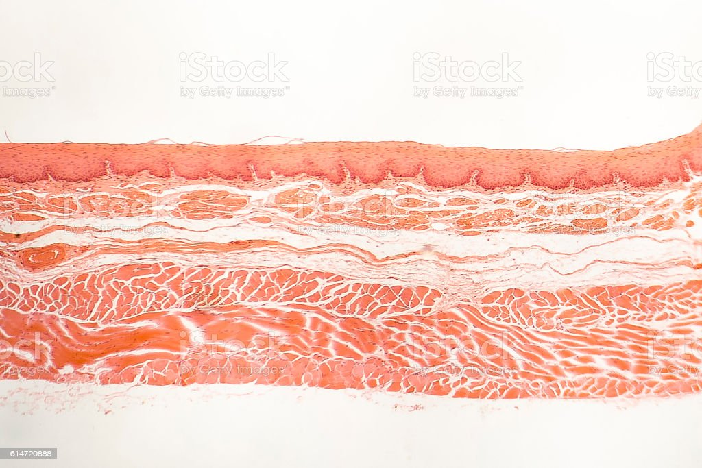Human esophagous mucosa stock photo