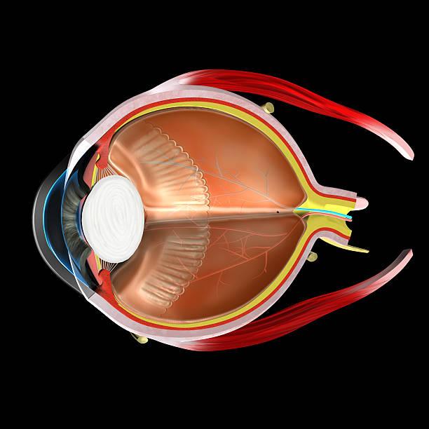 menschliche auge-anatomie - illustration optician stock-fotos und bilder