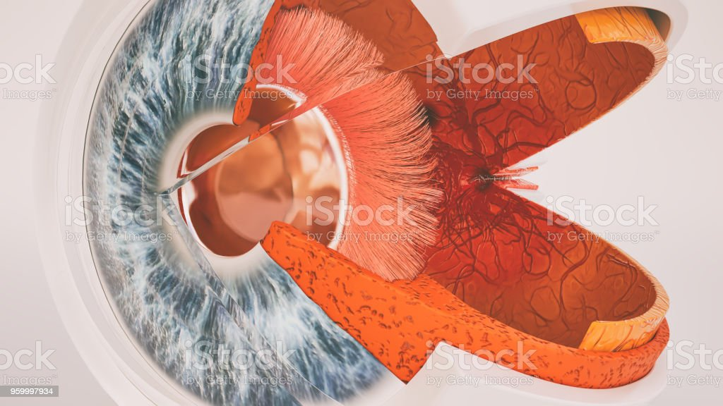Human Eye Anatomy Very Detailed In Cross Section Stock Photo & More ...