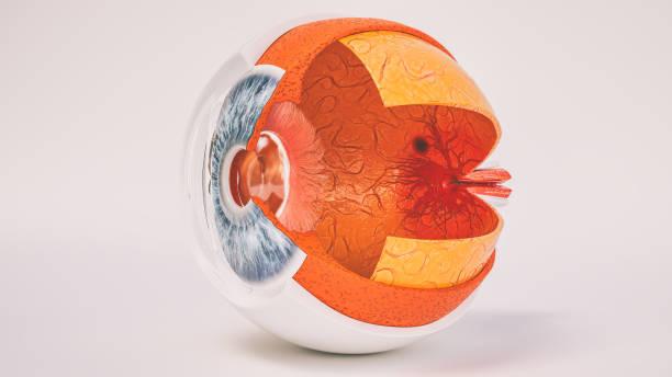 Menschliche Auge Anatomie sehr detailliert im Querschnitt – Foto