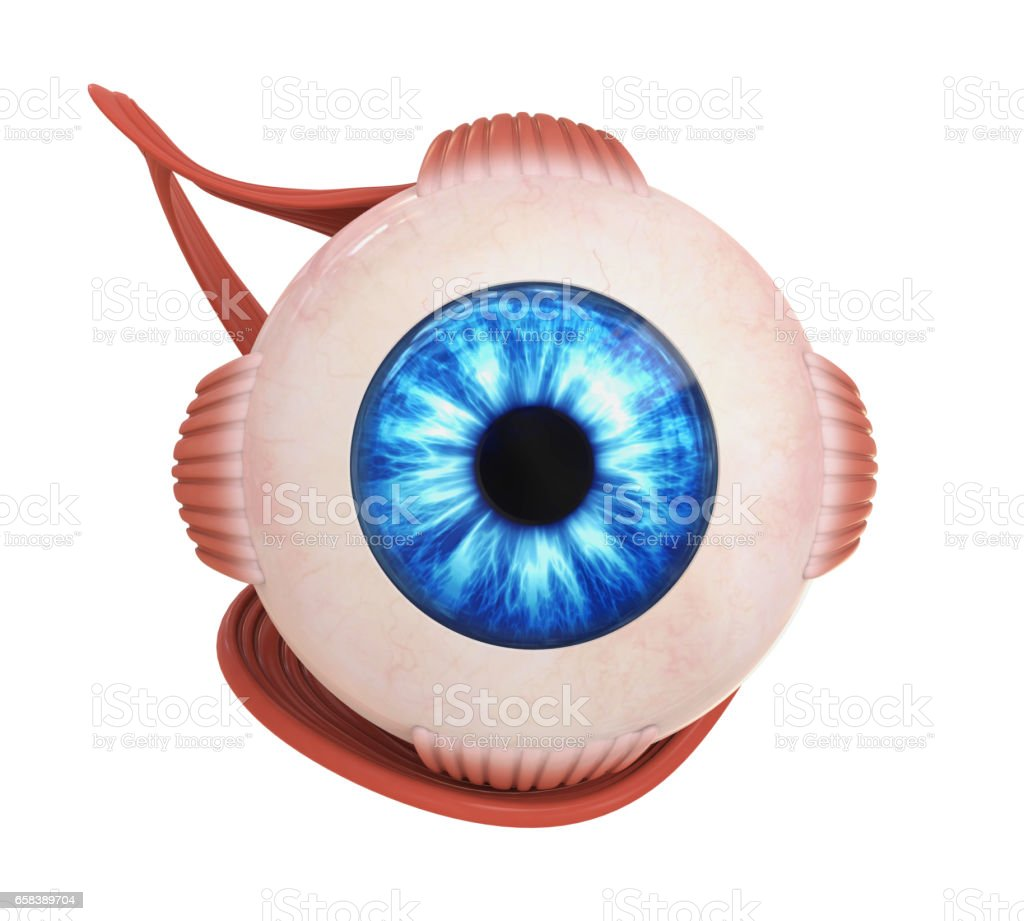Human Eye Extraocular Muscles stock photo