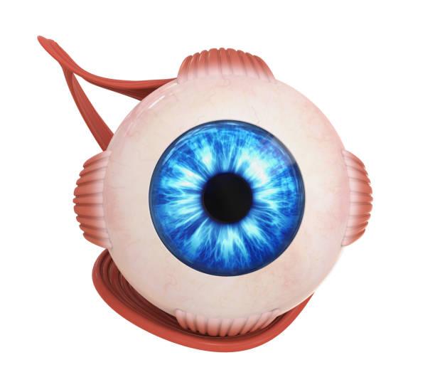 menschliche auge extraokularen muskeln - illustration optician stock-fotos und bilder