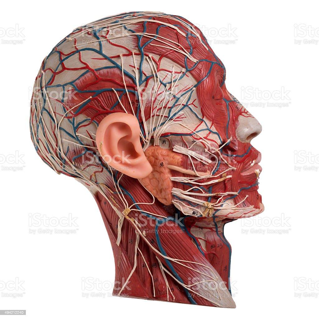 Human Face Anatomy stock photo