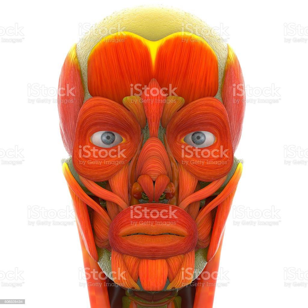 Menschliches Gesicht Muskeln Stock-Fotografie und mehr Bilder von ...