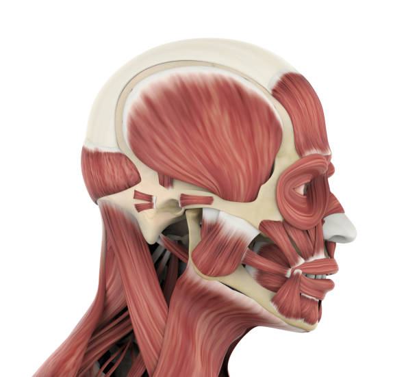 Royalty Free Masseter Muscle Pictures Images And Stock Photos Istock