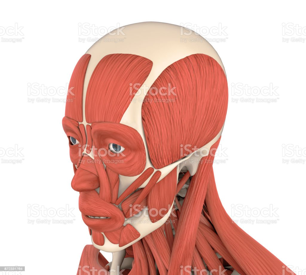 Human Facial Muscles Anatomy Stock Photo More Pictures Of Anatomy