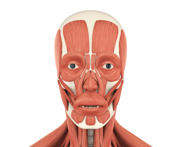 Royalty Free Orbicularis Oculi Muscle Pictures, Images and Stock ...