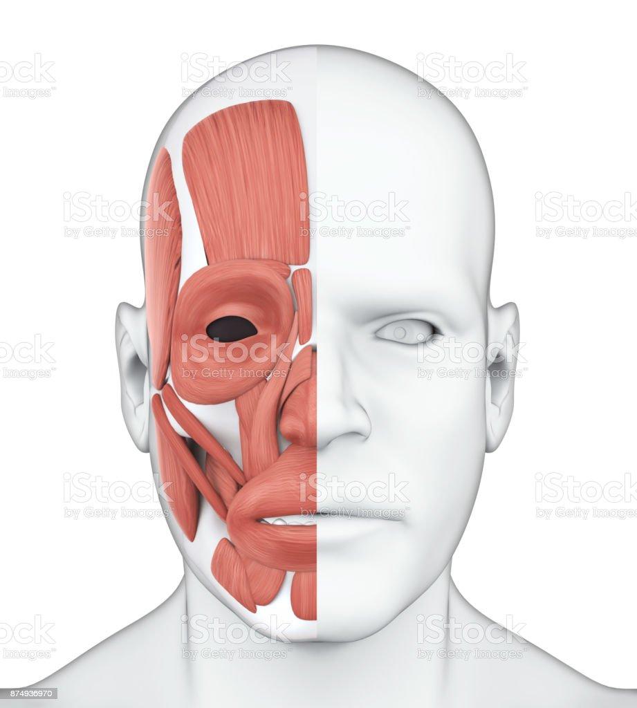 Human Facial Muscles Anatomy stock photo