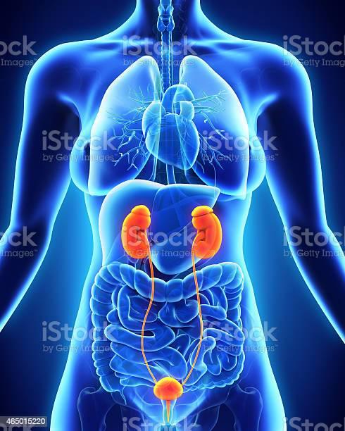 Human Female Kidney Anatomy Stock Photo - Download Image
