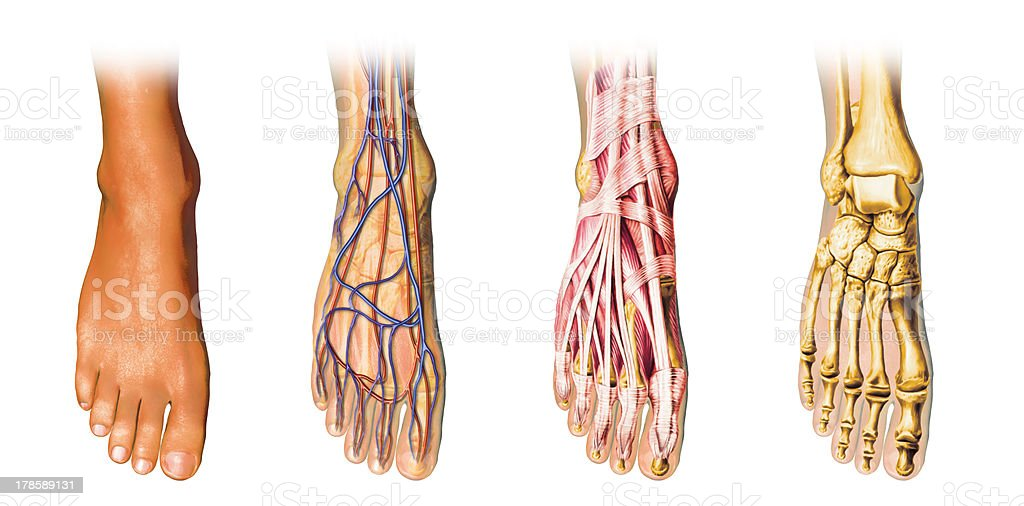 Human foot anatomy cutaway representation, clipping path included. stock photo