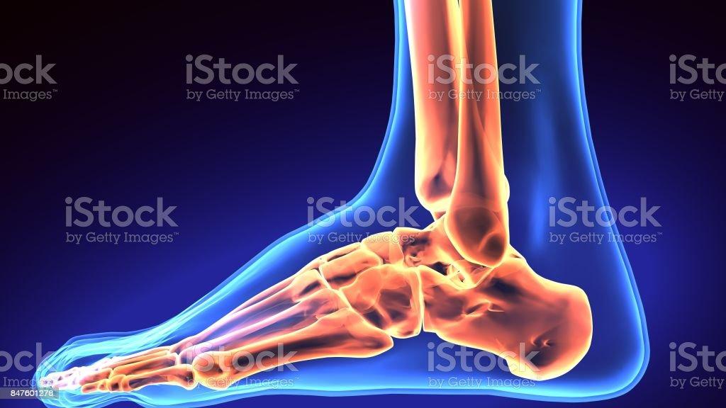Human Foot Anatomy Illustration 3d Render Stock Photo & More ...
