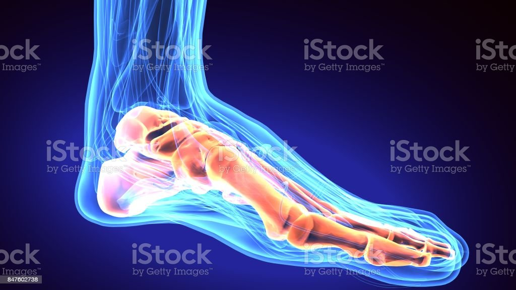 Human Foot Anatomy Illustration 3d Render Stock Photo More
