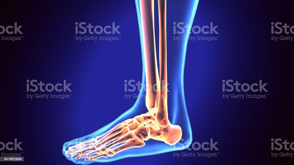 Menschlicher Fußanatomieillustration 3d Render Stock-Fotografie und ...