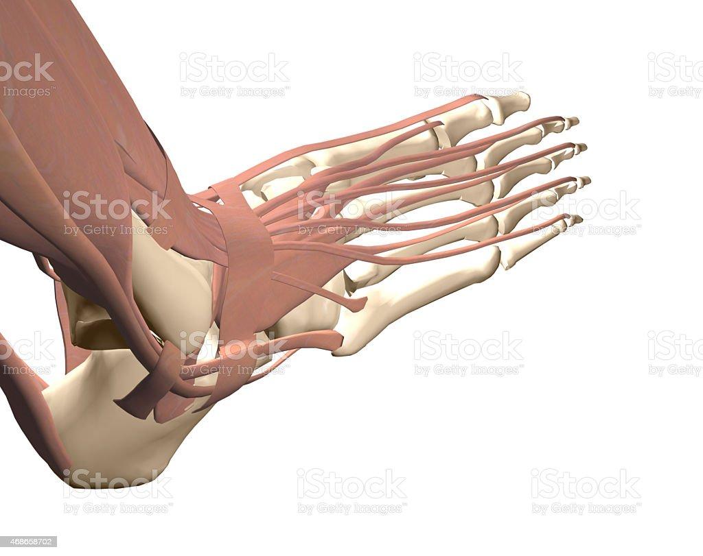 human foot anatomy stock photo
