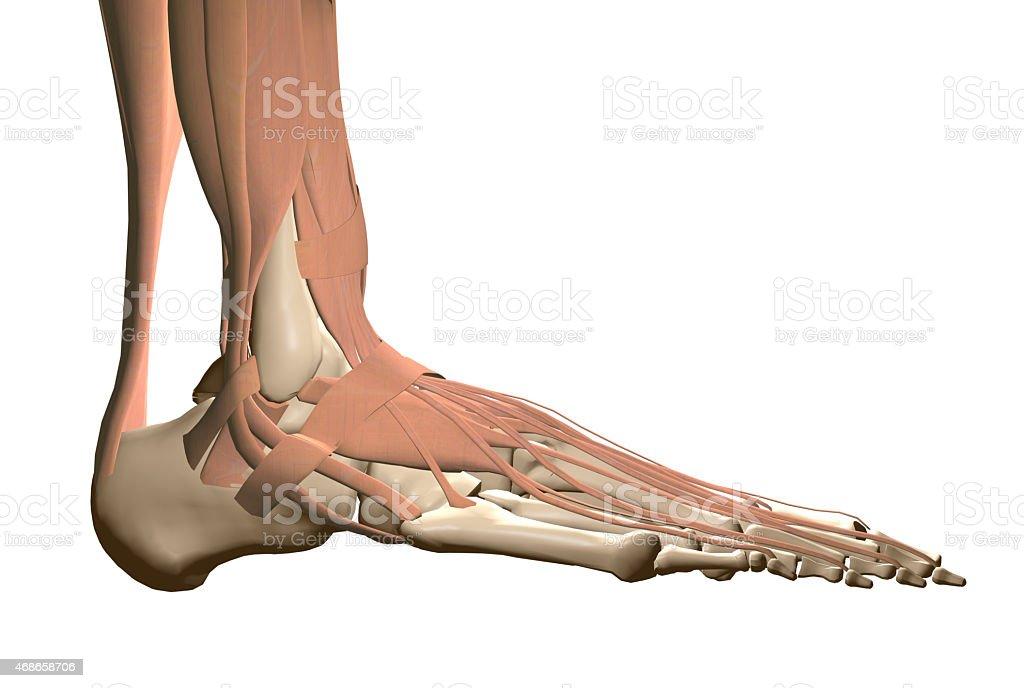 Anatomie Menschlicher Fuß Stock-Fotografie und mehr Bilder von 2015 ...