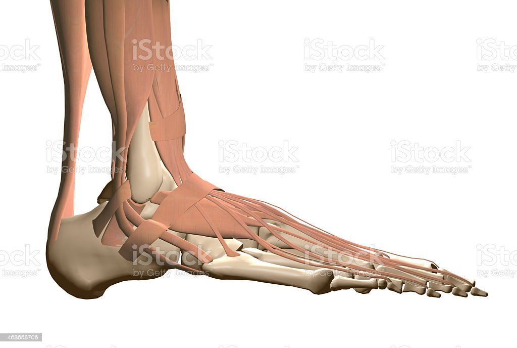 Human foot anatomy stock photo