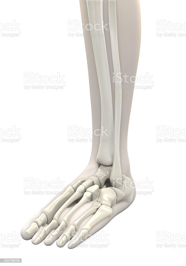 Anatomie Menschlicher Fuß Stock-Fotografie und mehr Bilder von ...