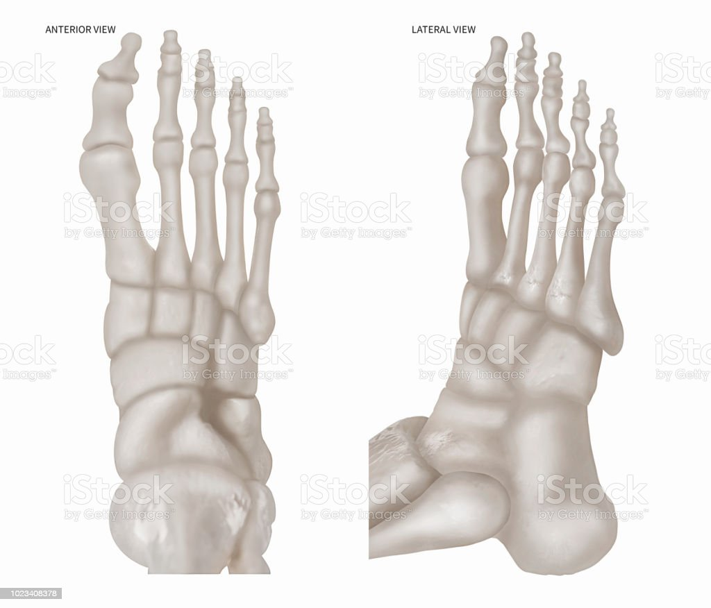 Human Foot Bone With Anterior View And Lateral View 3d Medical And ...