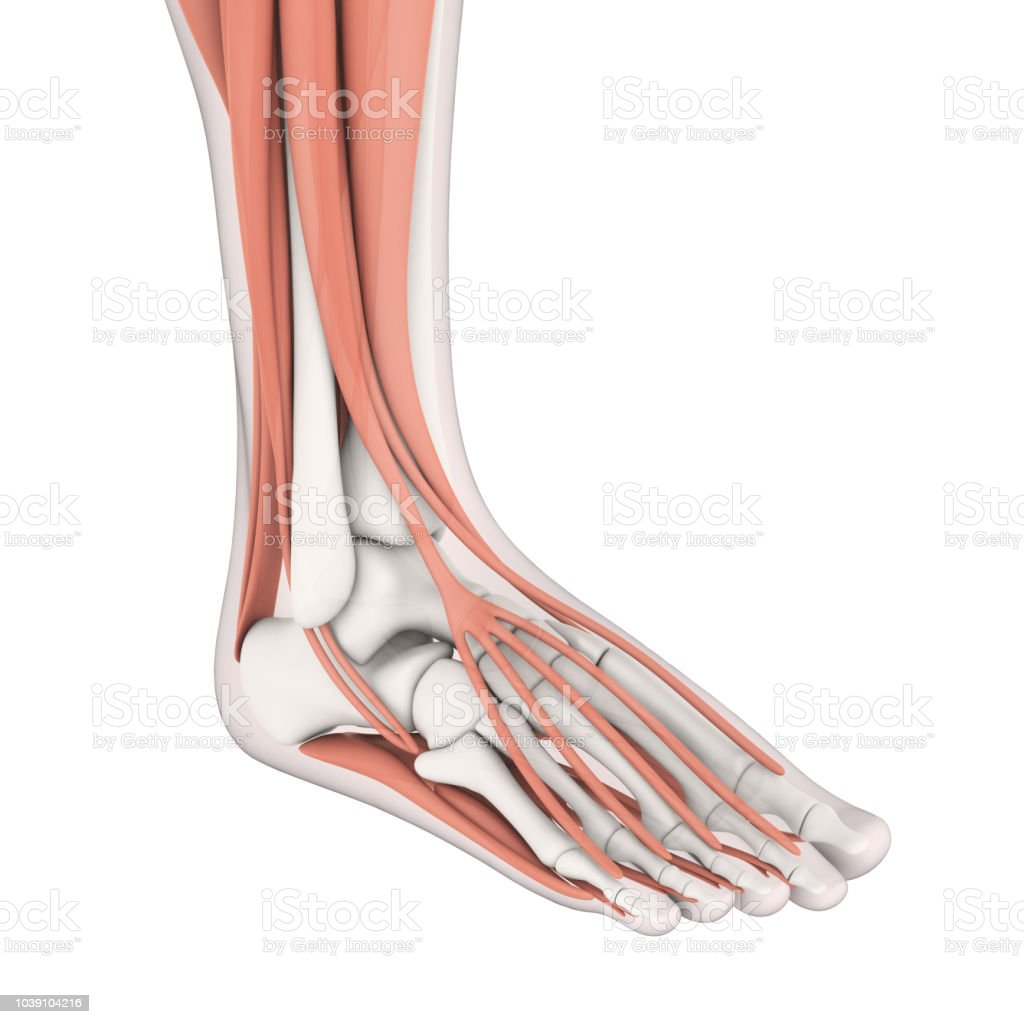 Human Foot Muscles Anatomy Stock Photo More Pictures Of Achilles
