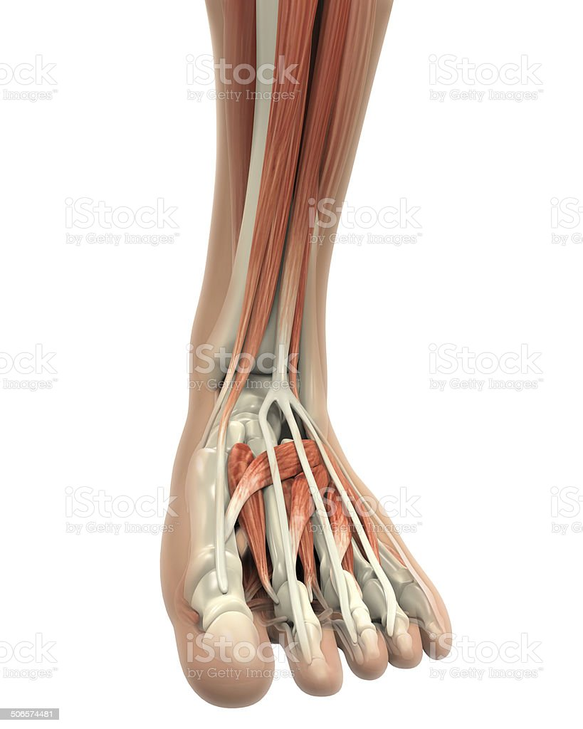 Human Foot Muscles Anatomy stock photo