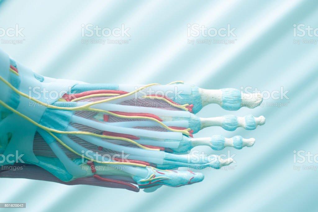 Menschlicher Fuß Zehen Medizinische Lehrmodell Zeigt Knochen Bänder ...
