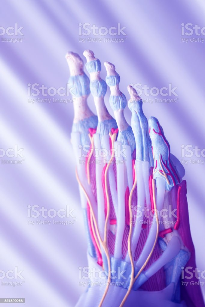 Human foot toes medical teaching model showing bones ligaments tendons and cartilage. stock photo