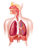 Human full respiratory system cross section