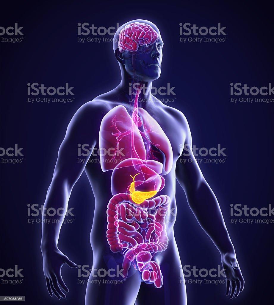 Menschliche Gallbladder Und Bauchspeicheldrüse Anatomie - Stockfoto ...