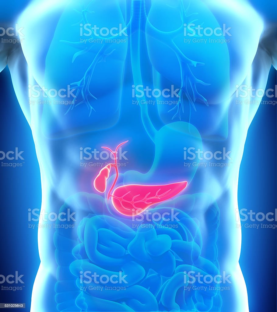 Human Gallbladder and Pancreas Anatomy stock photo