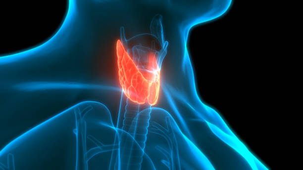 Human Glands Lobes of Thyroid Gland Anatomy stock photo