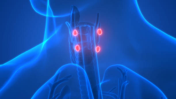 Human Glands Parathyroid Glands Anatomy stock photo