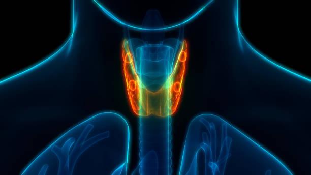 Human Glands Thyroid Gland Anatomy stock photo